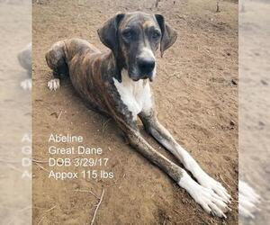 Great Dane Dogs for adoption in Bon Carbo, CO, USA