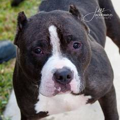 American Pit Bull Terrier Dog For Adoption in Pearland, TX, USA