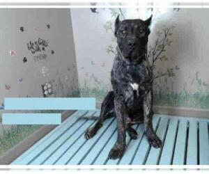 Presa Canario Dogs for adoption in Goodyear, AZ, USA
