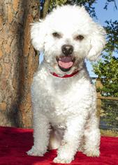 Bichon Frise Mix Dog For Adoption in Santa Fe, TX, USA