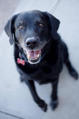 Labrador Retriever Dog For Adoption in San Diego, CA