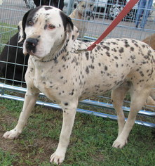 American Pit Bull Terrier-Mountain Cur Mix Dog For Adoption in Weatherford, OK, USA