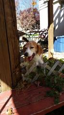 English Foxhound Dog For Adoption in Seven Valleys, PA