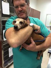 Dachshund Dog For Adoption in Weston, FL