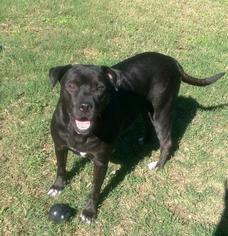 American Staffordshire Terrier-Labrador Retriever Mix Dog For Adoption in San Antonio, TX, USA