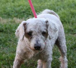 Poodle (Miniature) Mix Dog For Adoption in San Antonio, TX, USA