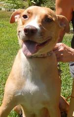 Boxador Dog For Adoption in Fredericksburg, VA
