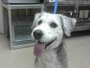 Old English Sheepdog Dogs for adoption in Martinez, CA, USA