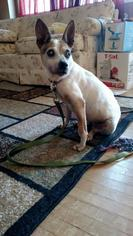 Jack Russell Terrier Mix Dog For Adoption in Springville, NY