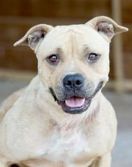 American Pit Bull Terrier Dog For Adoption in Social Circle, GA, USA