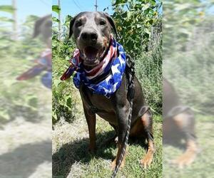 Doberman Pinscher Dogs for adoption in Stockton, CA, USA