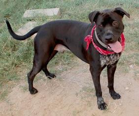 American Pit Bull Terrier-Labrador Retriever Mix Dog For Adoption in Austin, TX