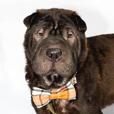 Chinese Shar-Pei Dog For Adoption in St. Louis Park, MN