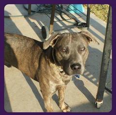 American Pit Bull Terrier-Labrador Retriever Mix Dog For Adoption in lago vista, TX, USA