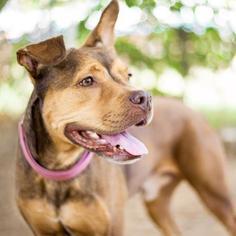 German Shepherd Dog Mix Dog For Adoption in Austin, TX