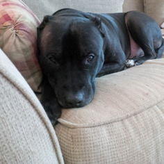 American Staffordshire Terrier-Staffordshire Bull Terrier Mix Dog For Adoption in Phoenixville, PA