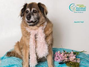 View Ad Australian Retriever Dog For Adoption Near California