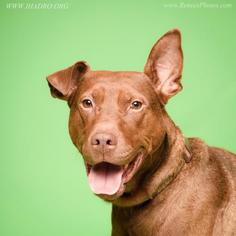 Doberman Pinscher-Labrador Retriever Mix Dog For Adoption in Blacklick, OH