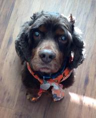 Cocker Spaniel Dog For Adoption in Houston, TX, USA