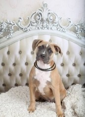 American Pit Bull Terrier Mix Dog For Adoption in Kansas City, MO, USA