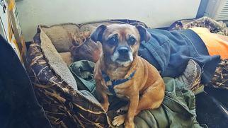 Chug Dog For Adoption in Littleton, CO