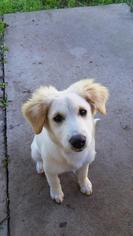 Labrador Retriever Samoyed Mix Dog