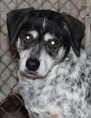 Mutt Dog For Adoption in Savannah, MO