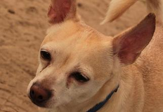 Chihuahua Mix Dog For Adoption in Freeport, FL