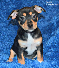 View Ad Chihuahua Rottweiler Mix Dog For Adoption California