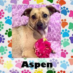 Chihuahua Mix Dog For Adoption in Medford, NJ, USA