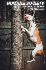 American Bulldog-American Staffordshire Terrier Mix Dog For Adoption in Cumming, GA