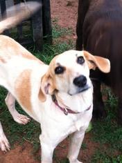Labrador Retriever-Unknown Mix Dog For Adoption in Albemarle, NC, USA