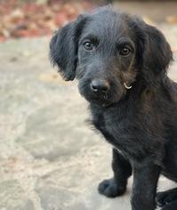 Labrador Retriever Dog For Adoption in Denton, TX, USA