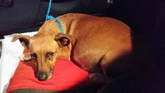 Chiweenie Dog For Adoption in Royal Palm Beach, FL, USA