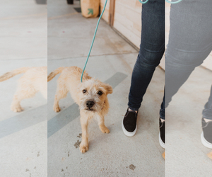 Border Terrier Dogs for adoption in See Website, CA, USA
