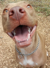 American Pit Bull Terrier Mix Dog For Adoption in Cedar Creek, TX, USA