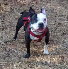 Boston Terrier Dog For Adoption in Maryville, TN, USA