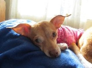 Chipin Dog For Adoption in Guilford, CT, USA