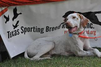 Pointer Dog For Adoption in Denton, TX, USA
