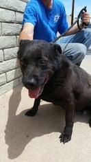Labrador Retriever Mix Dog For Adoption in Tempe, AZ, USA