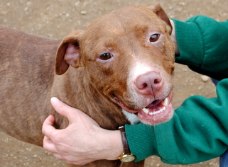 American Pit Bull Terrier Mix Dog For Adoption in Anniston, AL