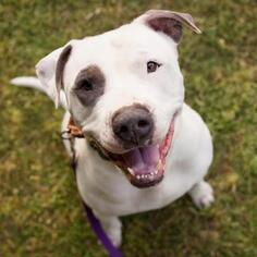 Small American Pit Bull Terrier Mix