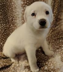 Puppyfindercom Kuvasz Puppies For Sale And Kuvasz Dogs For