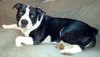 American Pit Bull Terrier-American Staffordshire Terrier Mix Dog For Adoption in Spring Lake, NJ, USA