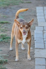 Miniature Pinscher Mix Dog For Adoption in Hesperia, CA, USA