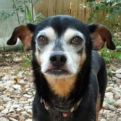 Chiweenie Dog For Adoption in Austin, TX, USA