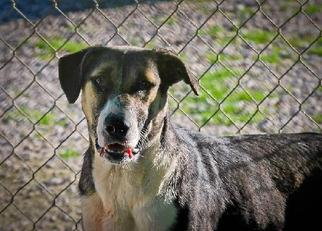Sheprador Dog For Adoption in Pembroke, GA, USA