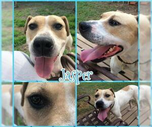 American Pit Bull Terrier-Unknown Mix Dogs for adoption in Blacksburg, SC, USA