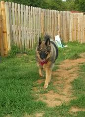 German Shepherd Dog Dog For Adoption in Morrisville, NC, USA