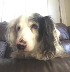 Dachshund Dog For Adoption in Jacksonville, FL, USA